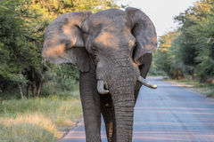 Charging Elephant in Kruger National Park Stock Photography