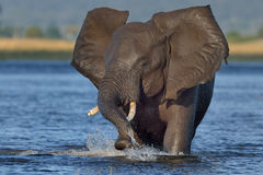 Charging Elephant. Elephant charging in river in Chobe National Park, Botswana Stock Image