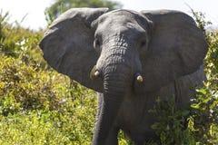 Charging Elephant In Serengeti National Park Royalty Free Stock Photos