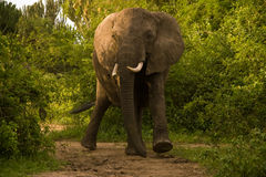 Charging Elephant in Uganda Stock Photos