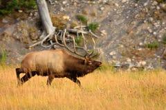 Charging Elk Stock Images