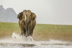 Charging furious huge wild elephant on water stock photo