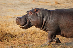 Charging hippopotamus Royalty Free Stock Image