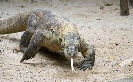 Charging Komodo. An endangered Komodo Dragon charges its' prey stock image