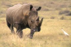 Charging rhino Royalty Free Stock Photo