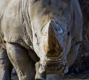 Charging rhino. A Rhinoceros watching people intently Royalty Free Stock Photos