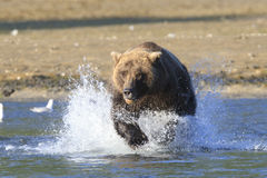 Charging towards fish in the river. Brown bear charging through the water Stock Images