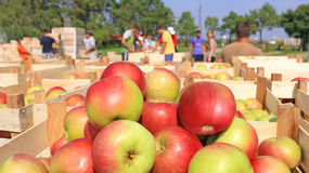 Chariot complètement des pommes après la sélection Photos stock