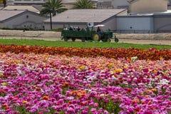 Chariot complètement des visiteurs appréciant les acres de fleurs géantes de Ranunculus photographie stock