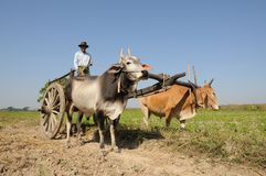 Chariot de boeuf Photo libre de droits