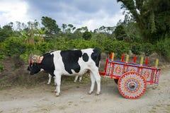 Chariot et vaches de boeuf sur la plantation de café en Costa Rica, voyage Photographie stock libre de droits