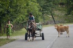 Chariot et vaches sur la route en Géorgie Image stock