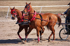 Chariot racing. Chariot horses on a race track Stock Photo