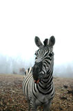 Charismatic Zebra Royalty Free Stock Photography