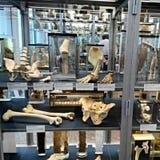 Charite-Medizin-Museum in Berlin stockfotos