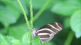 Charithonia de Heliconius del negro del amarillo de la mariposa de la cebra almacen de metraje de vídeo
