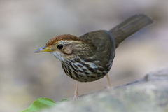 charlatán Soplo-throated (ruficeps) de Pellorneum, pájaro Fotografía de archivo libre de regalías