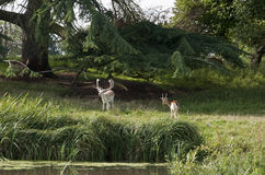 Charlecote deer Park Stock Images