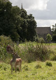Charlecote deer Park & Church Royalty Free Stock Photography