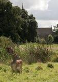 Charlecote deer Park & Church Royalty Free Stock Photography