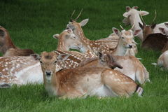 Charlecote Park Deer. Warwickshire, England Stock Photography
