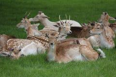 Charlecote parkerar hjortar Royaltyfria Bilder