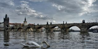Charles bridge in Prague and a swan with head under the water stock photography