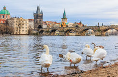 Charles bridge and swans in Prague stock photography