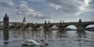 Charles-brug in Praag en een zwaan met hoofd onder het water stock fotografie