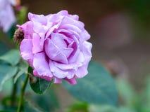 Charles De Gaulle Rose arkivfoto
