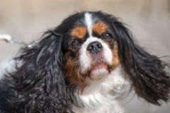 Charles Spaniel. Black and white dog with brown spots of breed Cavalier King Charles Spaniel, with long ears Stock Images
