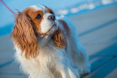Charles Spaniel on a leash. Tilted view of Charles Spaniel that is walking close to the sea, on a leash Stock Photos