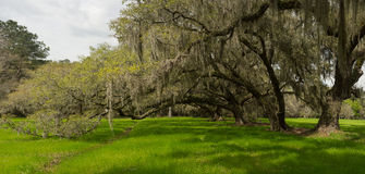 Charleston oaks. Panorama of charleston oak alley Royalty Free Stock Images