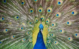 Charleston Peacock Arkivfoto
