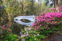 Charleston SC Ornamental Bridge Azaleas. Ornamental pedestrian white bridge over swampy water where azalea plants bloom in spring in the lowcountry of Charleston Stock Images