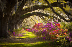 Charleston SC Plantation Flowers Oak Trees Moss. Charleston SC Plantation Live Oak Trees Spanish Moss Azalea Flowers Blooming Spring Blooms Stock Images