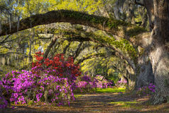 Charleston SC Spring Bloom Azalea Flowers South Carolina Plantation Garden. Under live oaks and spanish moss Stock Photo