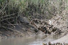 Charleston South Carolina-oesters in pluffmodder met witte vogel en moerasachtergrond Stock Foto's