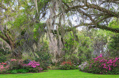 Charleston South Carolina Romantic Garden Oak Trees Azaleas Moss. Lush, romantic southern garden of live oak trees with hanging moss arching over spring blooming Royalty Free Stock Image