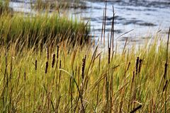 Charleston Swamp Environment. A swamp with wild grass in Charleston, South Carolina royalty free stock image
