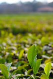 Charleston tea plantation Royalty Free Stock Photos