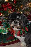 Charley at Christmas Royalty Free Stock Images