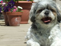 Charley Pup on Deck. Bichon Shih Tzu sitting on deck with planters stock images