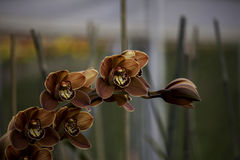 Charlie Brown Cymbidium Orchid Royalty Free Stock Photography