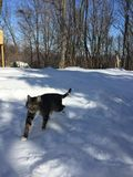 Charlie Cat Walking In Snow Foto de archivo
