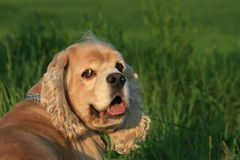 Charlie in green grass Royalty Free Stock Image