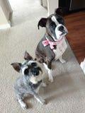 Charlie i Bijou zdjęcie royalty free