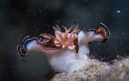 Charlottae-nudibranch Stockfoto