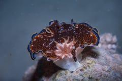 Charlottae nudibranch Stock Afbeeldingen