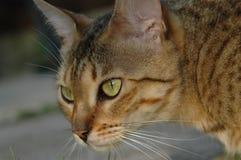 Charma att koppla av för Bengal katt Arkivfoton